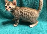 Caterpie - Bengal Cat For Sale - Haines City, FL, US