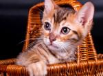 Ultron - Kitten For Sale - 5d782a972c53a-0-04-05-7cdd3f63f5538357baa3772dff198241a449691049db73664c8301f2cc4dc705_84a6c1df_edited.jpg