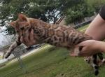 Israel - Kitten For Sale - 5d7bb0b4b27d4-20190912_190158.jpg