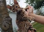 Jordan - Kitten For Sale - 5d7bb1012c547-20190912_185623.jpg