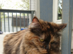Rosie - Siberian Cat For Sale - Huntington, WV, US