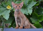 Fuoco - Abyssinian Cat For Sale - Staten Island, NY, US