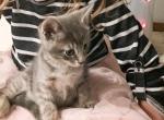 Kitten4 - Scottish Straight Cat For Sale - Auburn, WA, US