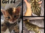 FionaxCleatus male and female - Bengal Cat For Sale - MI, US
