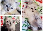 Snow female - Kitten For Sale - 5dba695b2d9b4-PhotoCollage_1572368391622.jpg
