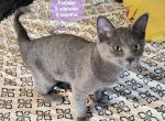 Half Siamese 4 mo - Kitten For Sale - 5dc75f561d28c-20191107_092331.jpg
