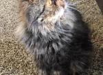 Duvessa - Persian Cat For Sale - Sheridan, MI, US