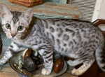 Silver female - Kitten For Sale - 5dd601edef0d6-8174F22A-1066-48DB-B555-645DDAF67895.png