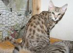 F3 Male Savannah - Savannah Cat For Sale -
