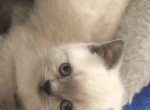 Angel - Kitten For Sale - 5ddd4fe74fd51-F58DB147-ECDC-4802-969D-AEE328F894C9.png