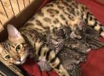 Bengal babies - Bengal Cat For Sale - Haines City, FL, US