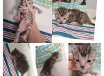 Liter - Kitten For Sale - 5e15800b707ab-PhotoCollage_1578424648805.jpg