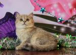 Bri golden girl - Kitten For Sale - 5e2069c7471e6-6EEAE8D2-3FE7-434C-A324-BF462C48AFE9.jpeg