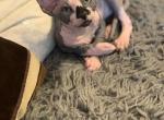 Sphynx kittens available for sale - Kitten For Sale - 5e23af0d340d6-1F340C63-C92B-46AE-AB40-B14BB426F10E.jpeg