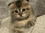 Rare Chinchilla Coat Scottish Fold Male Kitten - Kitten For Sale - 5e25fb1428f48-CHANDER3-2.jpeg
