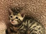 Female baby - Bengal Cat For Sale - Haines City, FL, US
