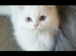 Persian kittens - Persian Kitten For Sale -