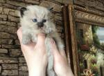 Ragdoll - Ragdoll Kitten For Sale - Warwick, RI, US