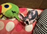 New litter - Sphynx Cat For Sale - Brooklyn, NY, US
