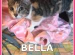 Bella - Munchkin Cat For Sale -