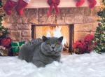 Litter J - British Shorthair Kitten For Sale -
