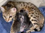 First Litter - Egyptian Mau Cat For Sale - KS, US