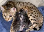 First Litter - Kitten For Sale - 5e498edf4e865-8267F163-DDFE-41D0-8FFB-3FF943107A92.jpeg