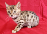 Uni - Bengal Kitten For Sale - Merton, WI, US