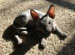 Drogon - Sphynx Cat For Sale - Port Townsend, WA, US