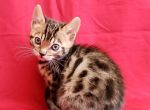 Maki - Bengal Kitten For Sale - Merton, WI, US