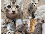 Female - Kitten For Sale - 5e731534e5706-PhotoCollage_1584600025396.jpg