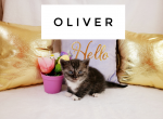 Oliver - Kitten For Sale - 5e7a76793626d-wordswag_1585074441637.png