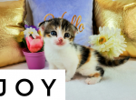 Joy - Kitten For Sale - 5e7bfe0712fb1-wordswag_1585157706125.png