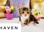 Haven - Kitten For Sale - 5e7d0f4d9866a-wordswag_1585251931367.png