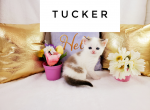 Tucker - Kitten For Sale - 5e7d1e1778166-wordswag_1585256795179.png