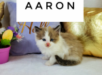 Aaron - Kitten For Sale - 5e7ea0b411ced-20200327_144151.png