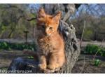 Vasco boy orange tabby large Maine Coon baby - Kitten For Sale - 5e94df7504168-1.jpg