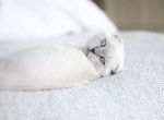 Snowball's kittens - Scottish Fold Cat For Sale - Damascus, OR, US