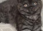 British Shorthair Prince - British Shorthair Cat For Sale - Camas, WA, US