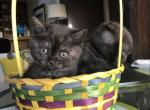 British Shorthair - British Shorthair Cat For Sale - Camas, WA, US