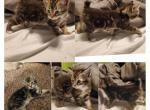 New liter - Kitten For Sale - 5eb02e55791ca-PhotoCollage_1588561506558.jpg