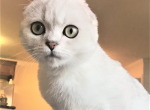Tesoro Dream - Scottish Fold Kitten For Sale -