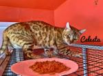 Young Adult Queens pet ready - Bengal Kitten For Sale