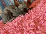 Sphynx kittens - Sphynx Kitten For Sale - Brooklyn, NY, US