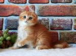 SFS dy25 boy red golden - Scottish Fold Kitten For Sale - Moscow, Moscow, RU