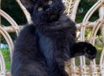 Villa - Maine Coon Kitten For Sale - Hollywood, FL, US