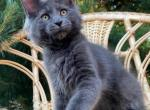 Vita - Maine Coon Kitten For Sale - Hollywood, FL, US