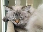 EllieYuta and Quest - Siberian Kitten For Sale - Nashville, TN, US