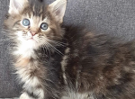 Turtle Girl 1 - Maine Coon Kitten For Sale - IL, US