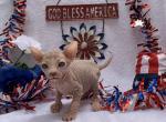 Pickles RESERVED - Sphynx Kitten For Sale -